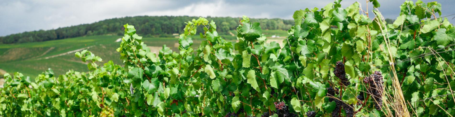 Vineyards in Champagne